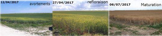 Évolution d'une parcelle de colza en 2017