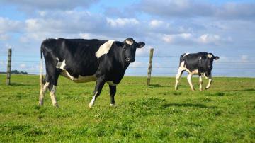 La moitié des éleveurs seulement avaient sorti les vaches au 15 avril