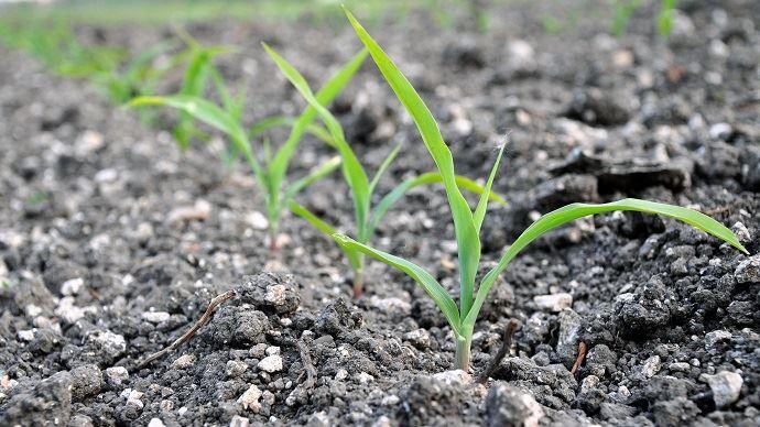 Le désherbage du maïs fourrage est à faire au plus tôt pour éviter que les adventices ne viennent concurrencer le maïs et pénaliser son rendement.