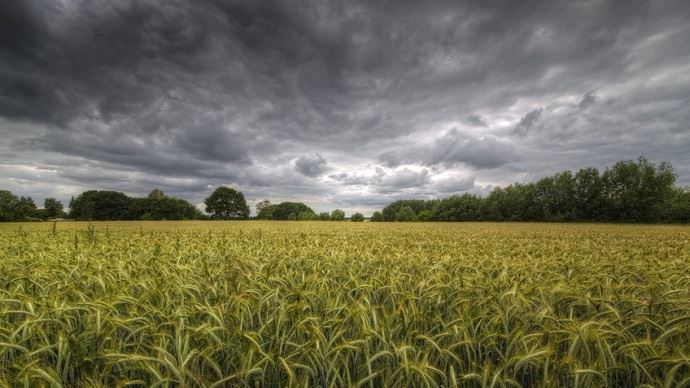 Parcelle de blé