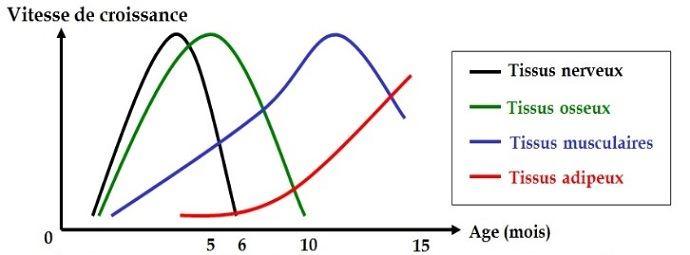Vitesse de croissance des différents tissus du corps du veau