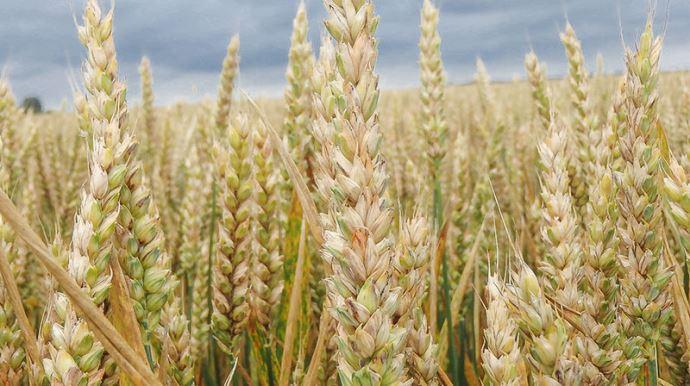 Fusariose sur blé tendre