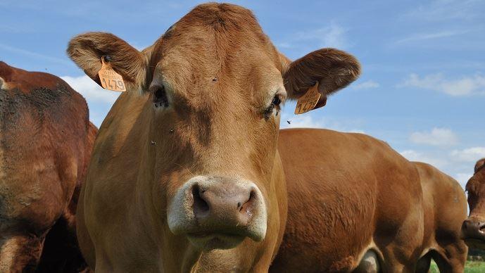 Les capteurs connectés du projet Cownect vont permettre de suivre et mesurer l'évolution des bovins de la race limousine.