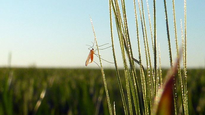 Cécidomyie orange sur un épi de blé