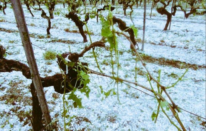 vignes endommagées par la grêle