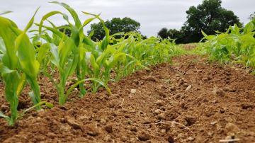 Intégrer le binage en complément du désherbage chimique du maïs