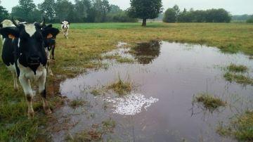 Les orages pénalisent aussi bien le pâturage, les foins et les maïs