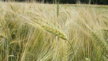 Préconisations définitives des variétés d'orge d'hiver, blé tendre et blé dur