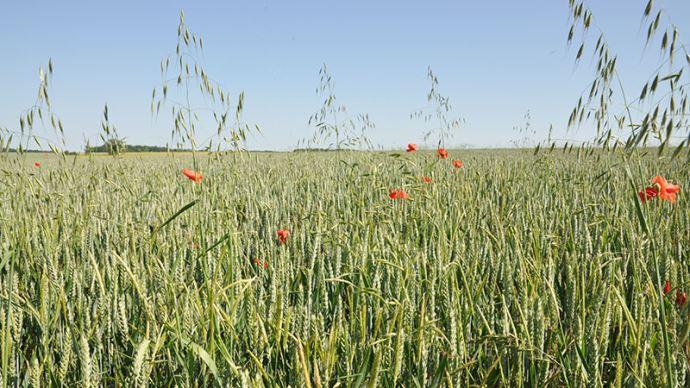 Brome dans du blé
