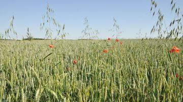 Le faux-semis est-il efficace pour lutter contre les adventices?