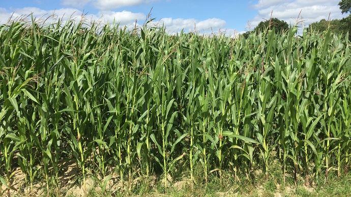 Panam semences propose des maïs riches en huile à utiliser sous forme d'ensilage plante entièe, en grain humide ou en ensilage d'épis