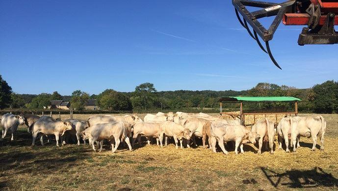 Les vaches charolaises de Jean-Pierre Fleury
