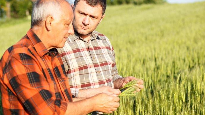 jeune agriculteur et agriculteur plus vieux observant des epis de cereales