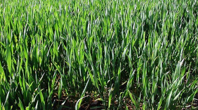 Parcelle de blé tendre