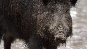 «Mobilisation sans précédent» pour endiguer la peste porcine