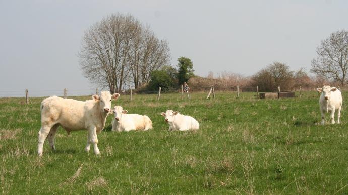 Vaches bovine, charolaise, pré