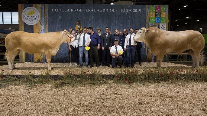 Les champions de la race blonde d'Aquitaine.