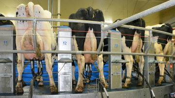 Production en hausse sur des lactations plus courtes avec des taux stables