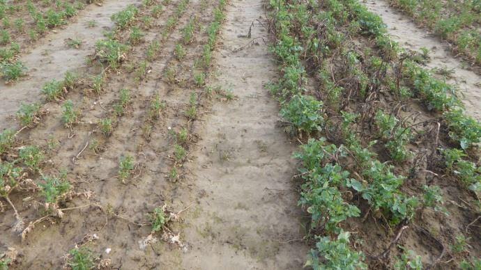 Mars 2018, à gauche colza sans couvert, à droite colza avec féverole.