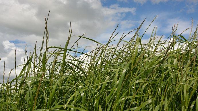 Le prélèvement pour l'analyse d'herbe est à faire au printemps (entre 15 et 25 cm de hauteur).