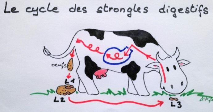 Le cycle des strongles digestifs chez les bovins