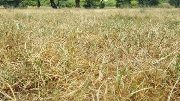 Des prairies abîmées à sursemer