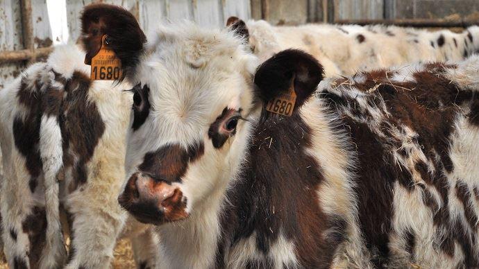 Même si les cours annoncent une légère hausse, le prix des veaux ne devrait plus atteindre de très hauts niveaux. La viande est en effet fortement délaissée.
