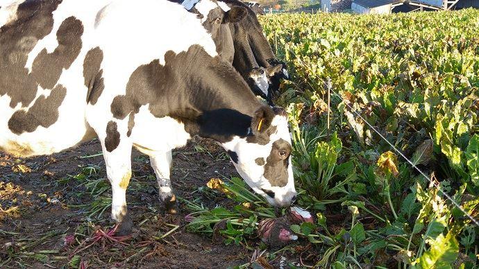 La betterave fourragère pâturée permet d'apporter un fourrage riche lorsque les production d'herbe est à la baisse (dès la fin de l'été).