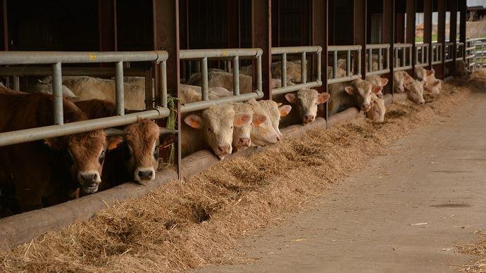 Ration d'engraissement des bovins viande à base de fourrages