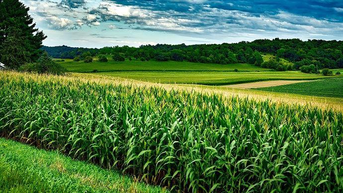 Maïs aux Etats-Unis