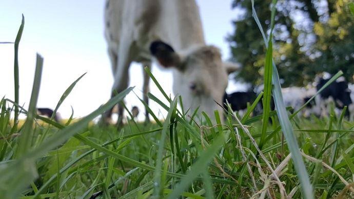 Vache laitière au pâturage