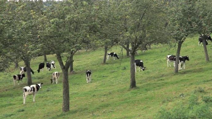 Jeunes bovins, adultes et ovins peuvent tout à fait pâturer des vergers, à condition de respecter certaines règles.