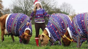 Les vaches aussi revêtent leur «pull moche de Noël» !