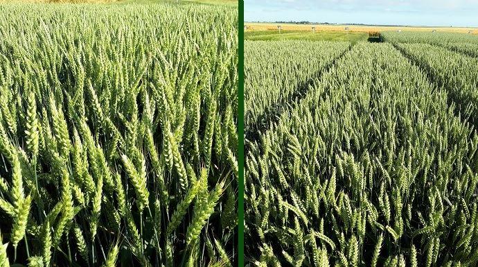 Variétés de blé Saaten-Union 2020