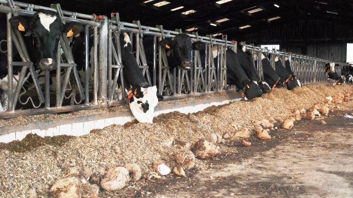 Vaches laitières à l'auge en ration maïs avec des betteraves fourragères