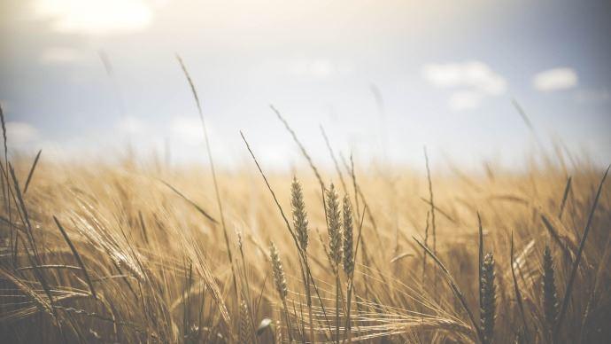 En Australie, la production de blé repart à la hausse
