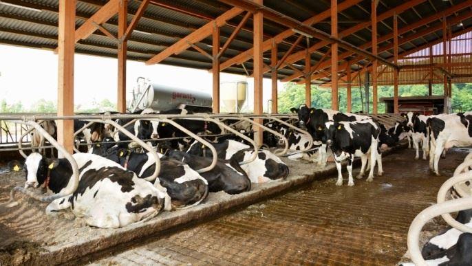 vaches laitieres dans un beau batiment