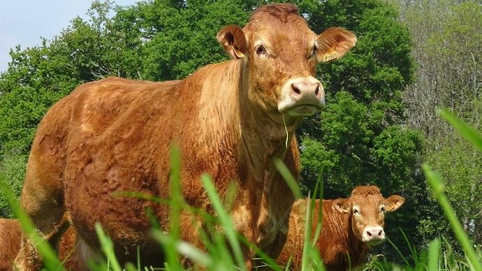 Vaches allaitantes Limousines
