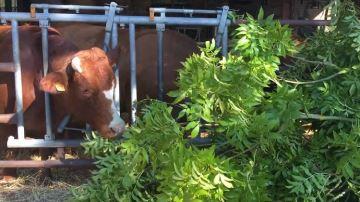 Des arbres dans la ration des bovins