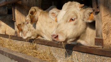 Herbe, luzerne et trèfle violet pour les bovins viande: oui mais à quel prix?