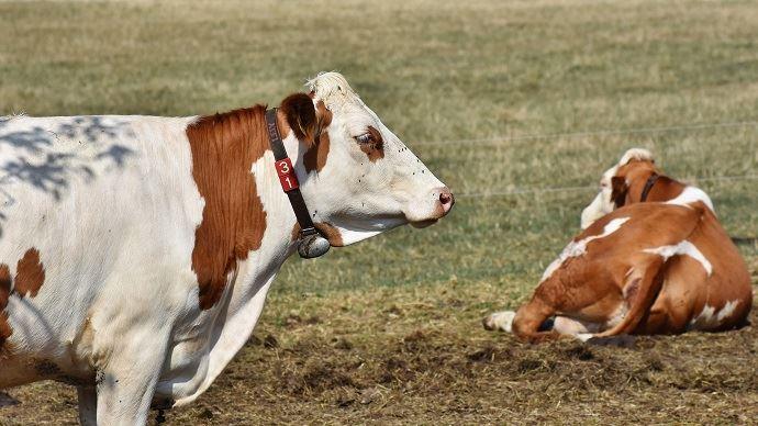 Vaches laitières au pâturage