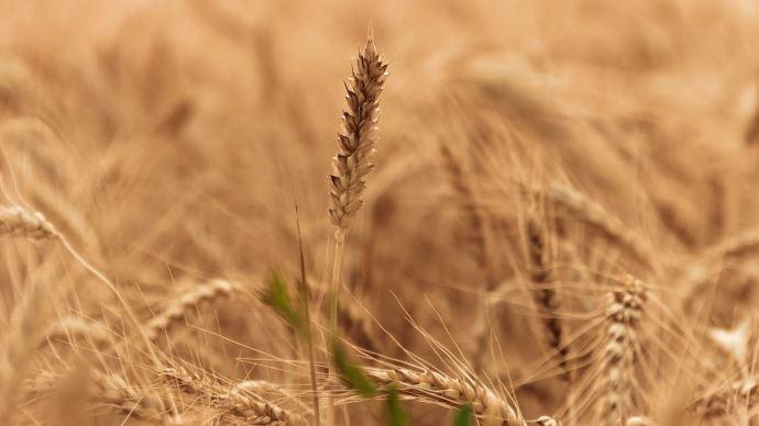 Les perspectives de production de blé se réduisent en Allemagne
