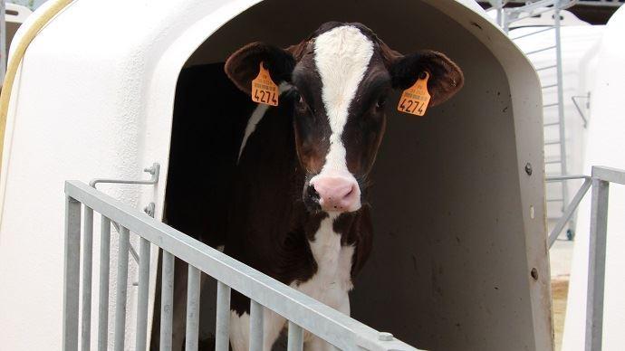 Veau laitier Holstein en case individuelle