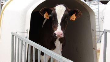 Peu ou beaucoup de lait pour une bonne croissance desgénisses?