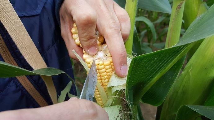 Observation des grains du maïs fourrage pour caler la date d'ensilage