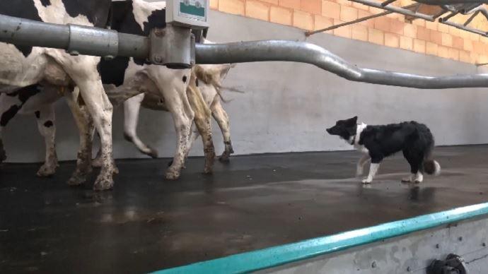 Chien et vaches laitières en salles de traite