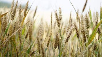 Le revenu sera négatif pour plus de 50% des céréaliers, alerte l'AGPB