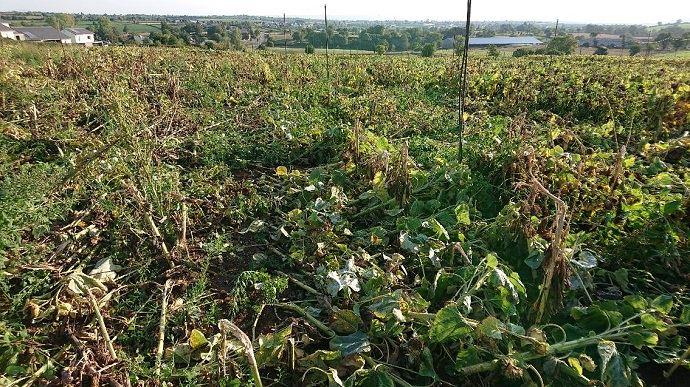 La parcelle d'essai de tournesol résistant au sclérotinia, à Druelle, dans l'Aveyron, détruite dimanche 13 septembre 2020 par des faucheurs volontaires.