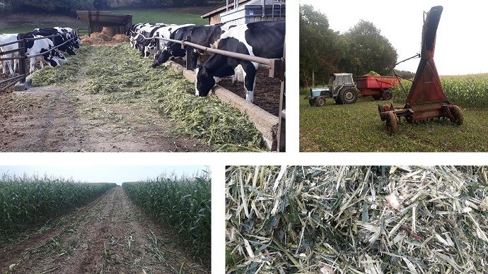 Affouragement en vert de maïs récolté au taarup