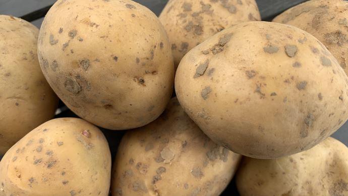 Face à des perspectives de marché incertaines, l'UNPT recommande une diminution de 15% des surfaces en pommes de terre pour 2021